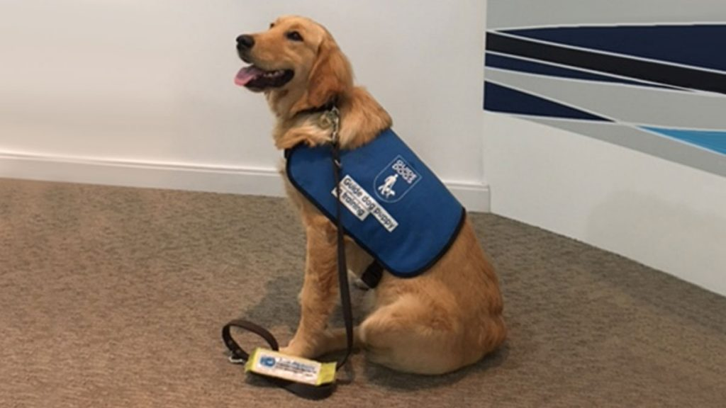 Service dog sitting obediently, wearing a blue vest and leash