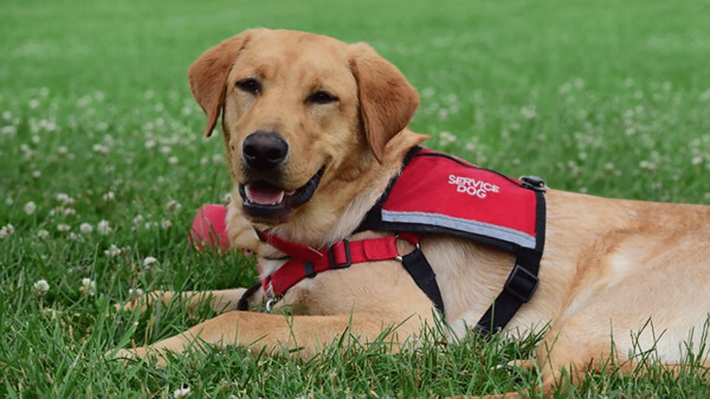 Service dog laying in grass, looking happy